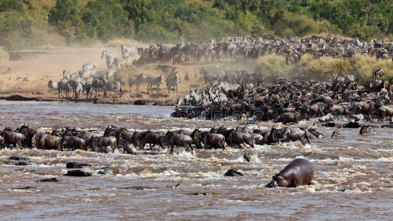Grupo Grande De Wildebeest Que Cruza El Río Mara Imagen de archivo libre de regalías