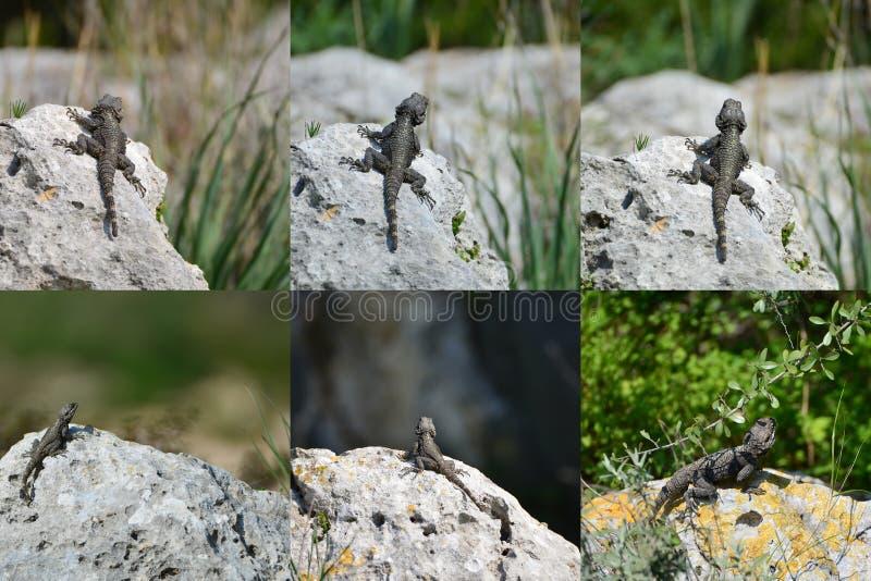 Grupo - hardun do lagarto em uma rocha fotos de stock