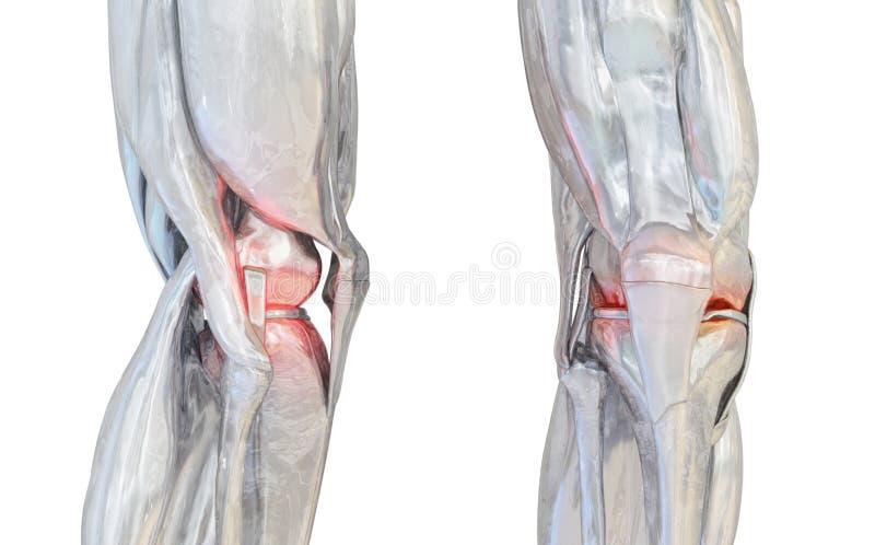Grupo humano da articulação do joelho ilustração 3D ilustração do vetor