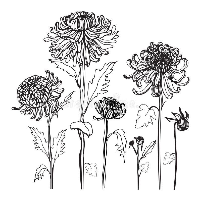 Grupo japonês do crisântemo Contorne a coleção realística com botões, flores, folhas Ilustração do estilo do vintage ilustração stock