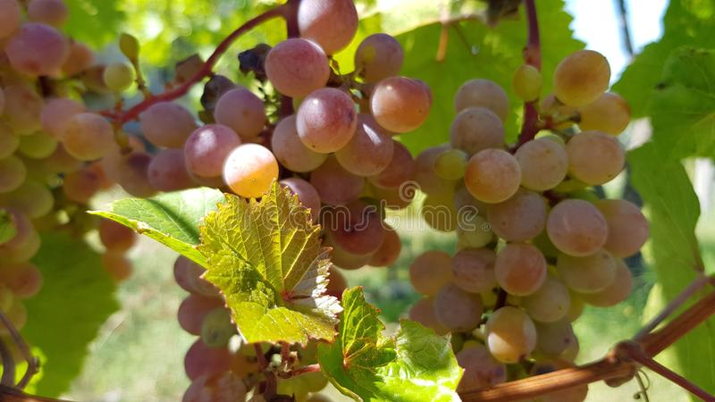 Grupo maduro da luz redonda - close up cor-de-rosa roxo das uvas fotografia de stock