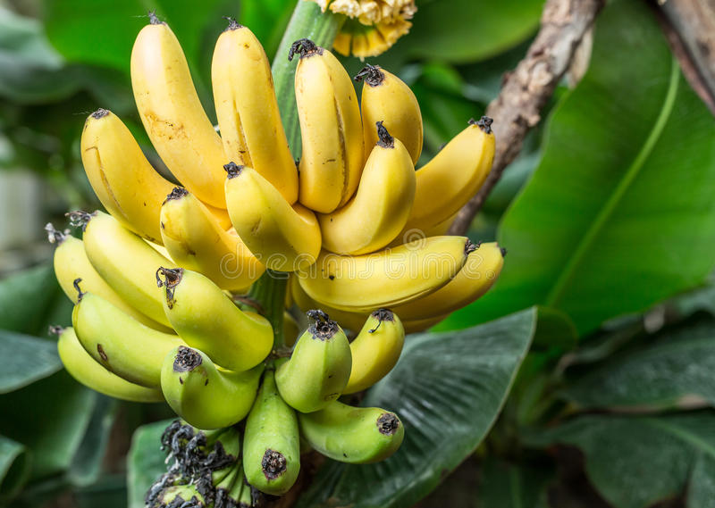 Grupo maduro das bananas na palma imagem de stock royalty free