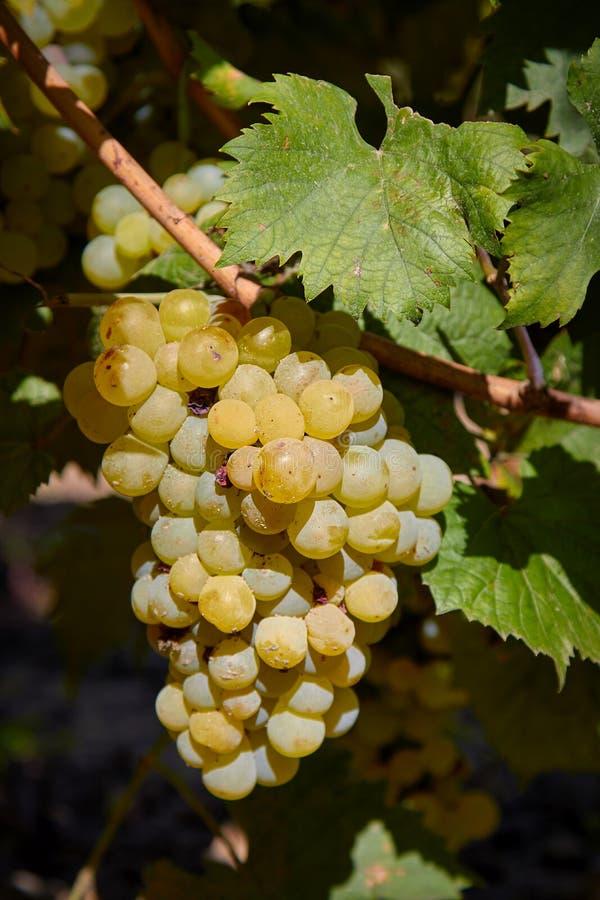 Grupo maduro de frutos das uvas no outono fotos de stock