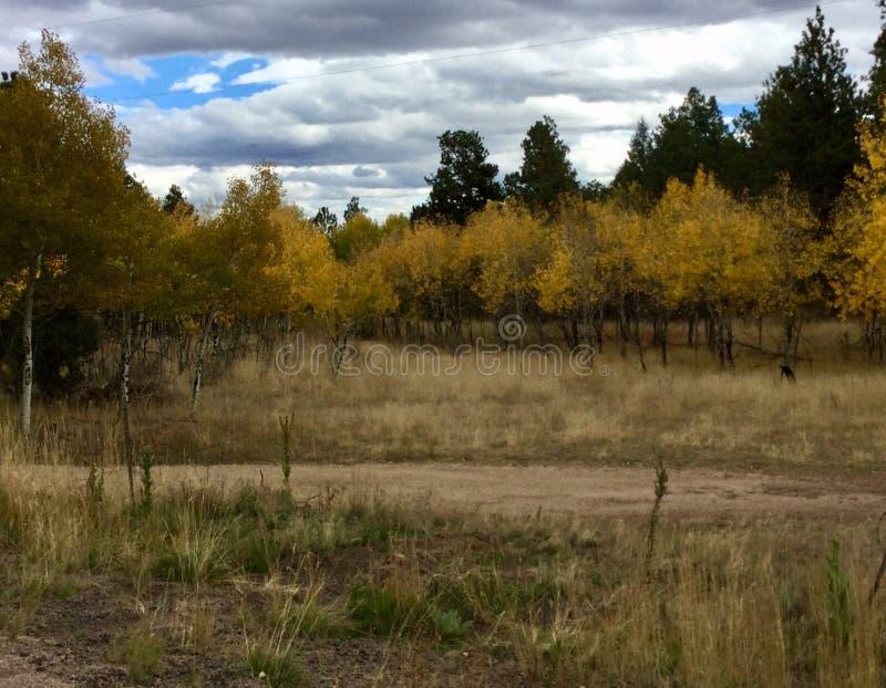 Grupo magnífico de álamos tembloses del otoño foto de archivo
