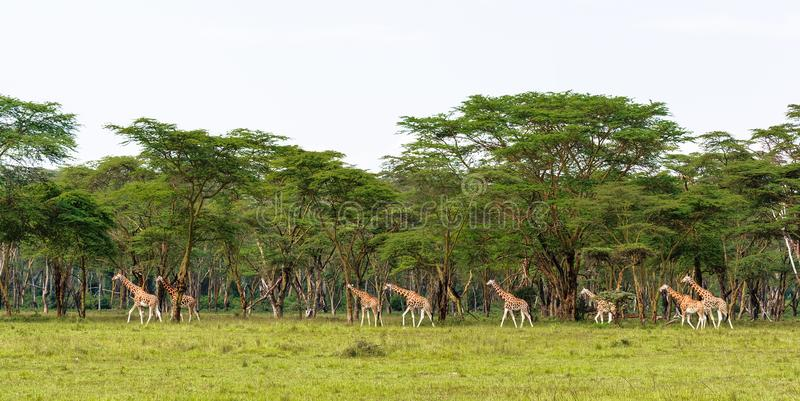 Grupo muito grande de girafas Nakuru, Kenya imagens de stock