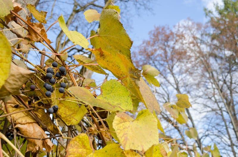 Grupo orgânico maduro do fruto da uva com folhas verdes imagem de stock royalty free
