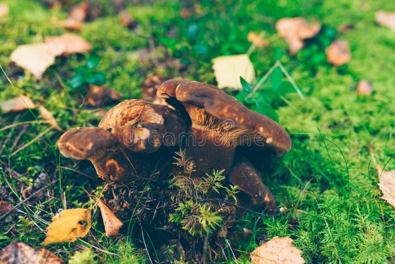 Grupo pequeno de cogumelos da rolo-borda de veludo fotografia de stock