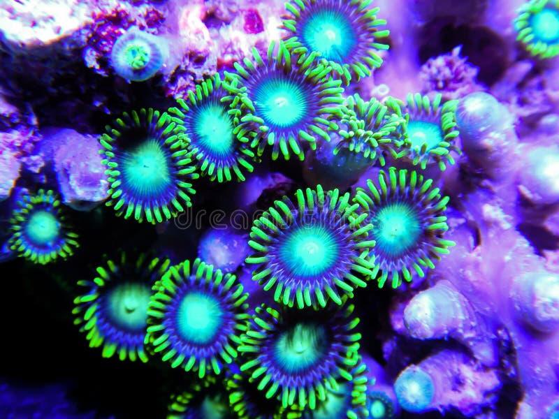 Grupo pequeno de corais verde-claro de Zoanthid na rocha fotos de stock royalty free