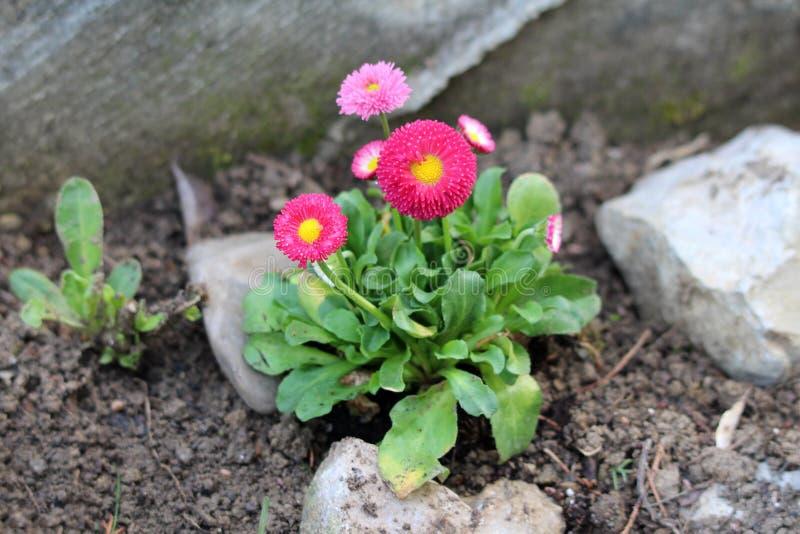 Grupo pequeno de plantas da margarida comum ou dos perennis do Bellis com rosa ao pompon vermelho como flores com o centro amarel fotos de stock