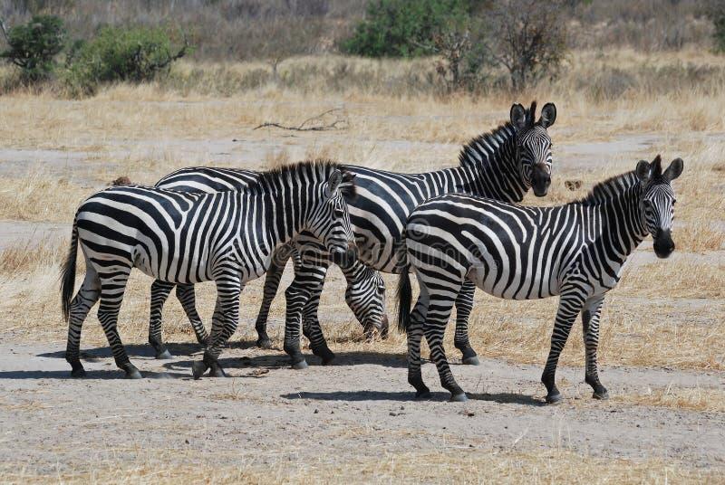 Grupo pequeno de zebras no savanna seco - Tanzânia foto de stock