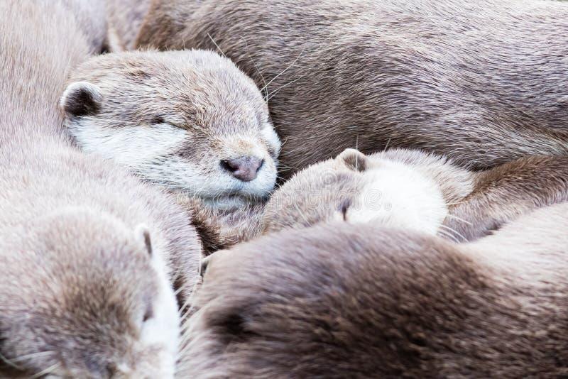 Grupo preguiçoso de lontra pequeno-agarrada asiático fotos de stock royalty free