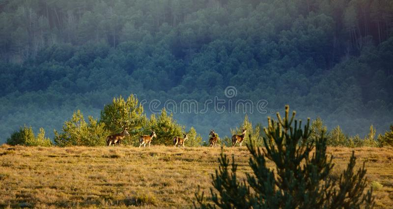 Grupo principal dos cervos masculinos de cervos fêmeas imagens de stock royalty free