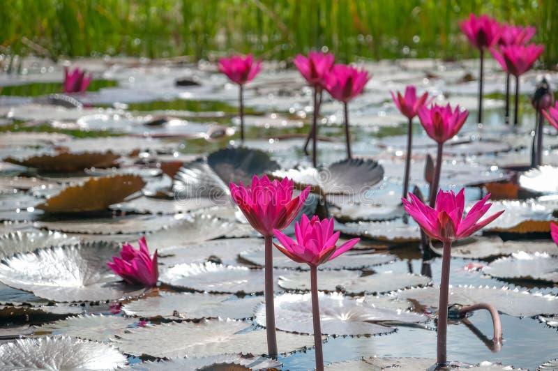 Grupo rosado de los lirios de agua en la charca natural de Trinidad y Tobago de la floración imagen de archivo libre de regalías