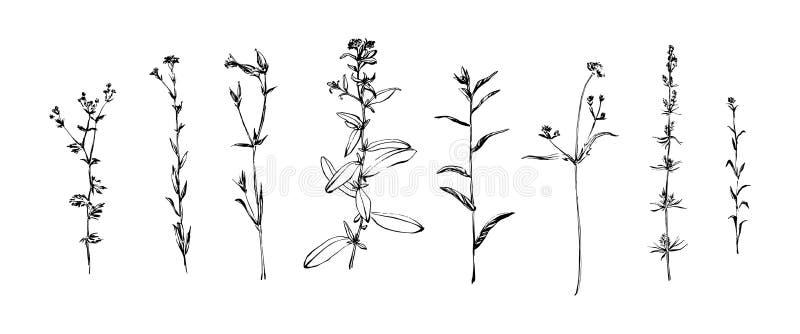 Grupo tirado mão de ervas selvagens Pintura das plantas do esboço pela tinta Ilustração botânica do vetor do estilo do esboço ou  ilustração stock