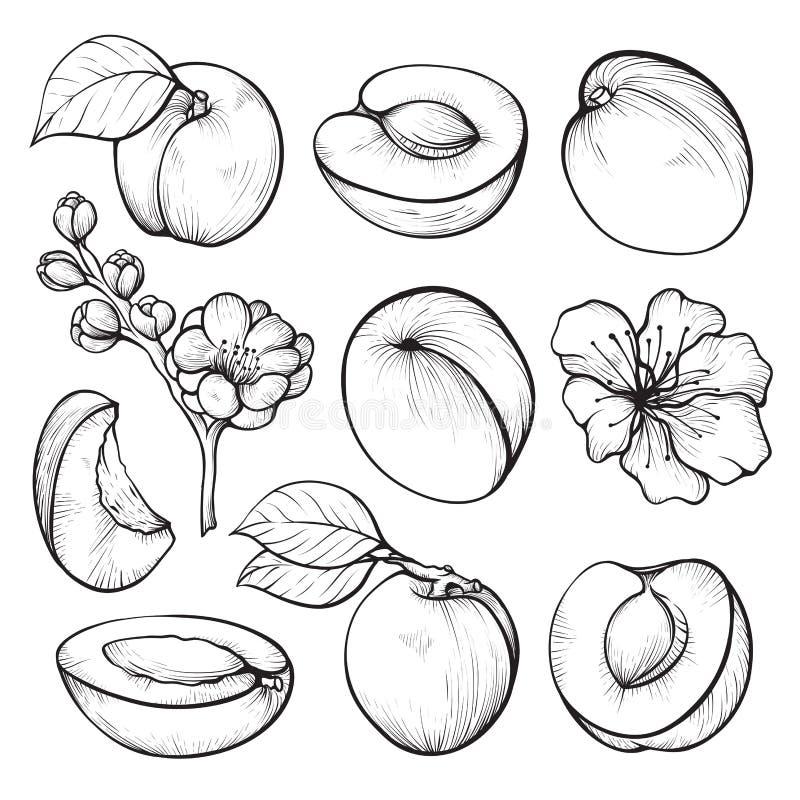 Grupo tirado mão do abricó, vitamina do fruto do verão ilustração royalty free