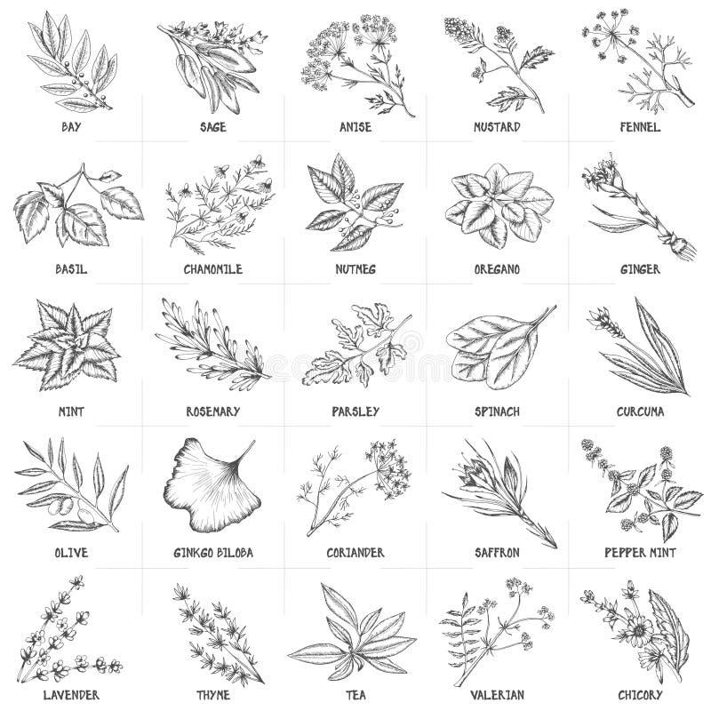 Grupo tirado mão do vetor de vintage das ervas e das especiarias ilustração do vetor