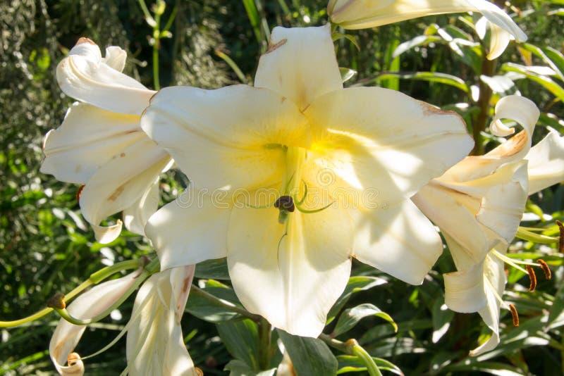 Grupo triple de la flor blanca foto de archivo libre de regalías
