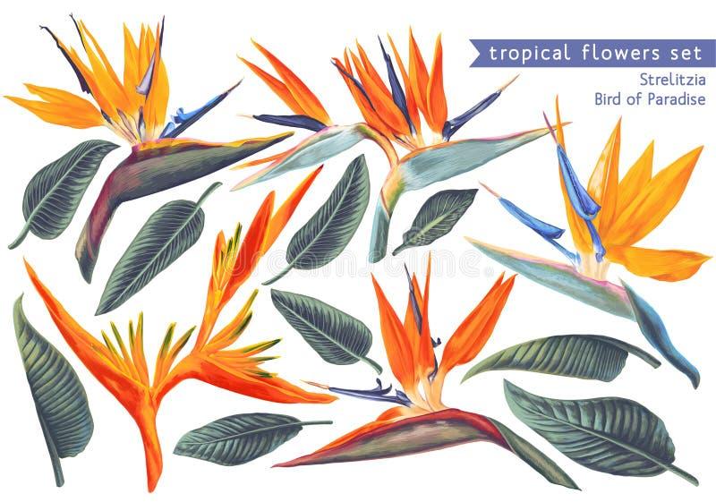 Grupo tropical do vetor de Strelitzia Reginae, flores tropicais e folhas ilustração do vetor