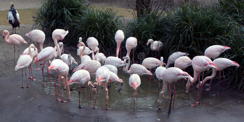 Grupo (uma pancadinha) de flamingos em torno da lagoa fotografia de stock royalty free