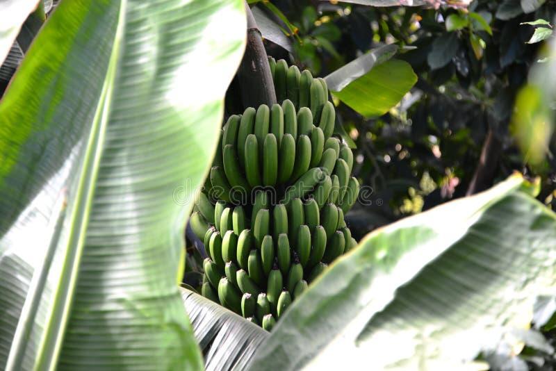 Grupo verde das bananas na árvore - tenerife foto de stock