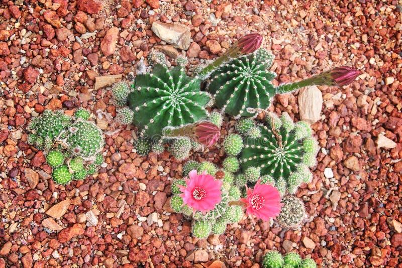 Grupo verde do cacto com a flor cor-de-rosa doce colorida que floresce no fundo do jardim ou na opinião superior decorativa natur fotos de stock