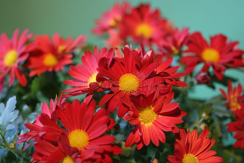 Grupo vermelho da flor foto de stock royalty free