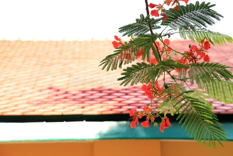 Grupo vermelho das flores da árvore de Flam Boyant com fundo do housetop fotografia de stock royalty free