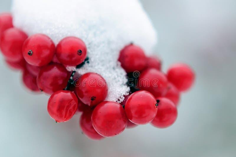 Grupos cobertos de neve de bagas do viburnum no wintergarden imagens de stock royalty free