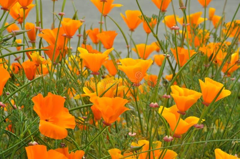 Grupos da borda da estrada de florescência das papoilas de Califórnia fotografia de stock