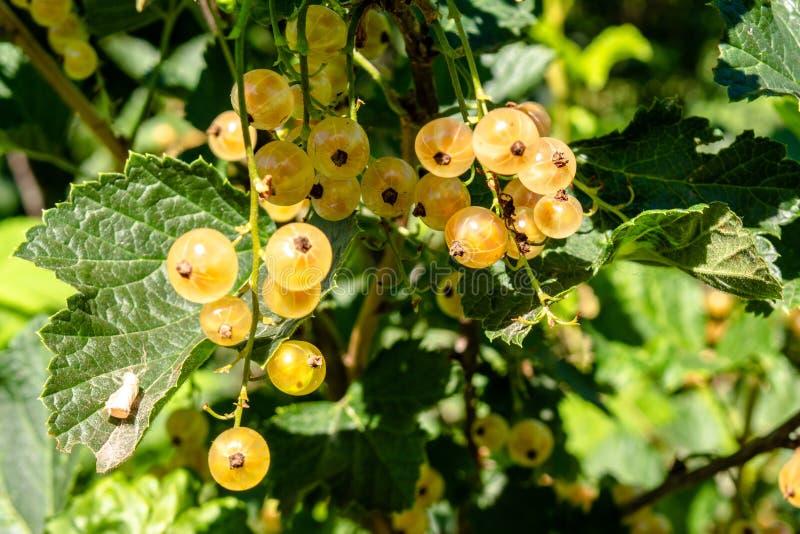 Grupos das bagas amarelas do corinto que crescem no ramo de um arbusto imagem de stock