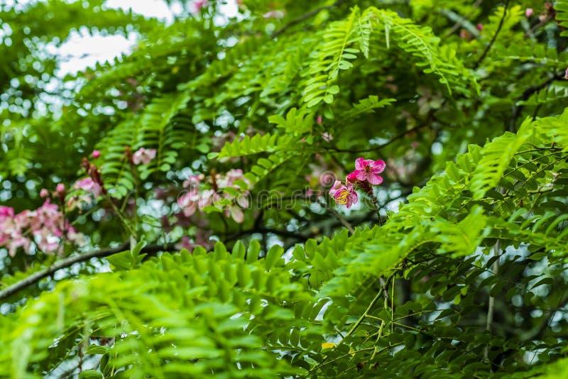 Grupos das flores da acácia que têm uma cor bonita, cor-de-rosa, em combinação com o escuro - folhas verdes da planta imagem de stock royalty free