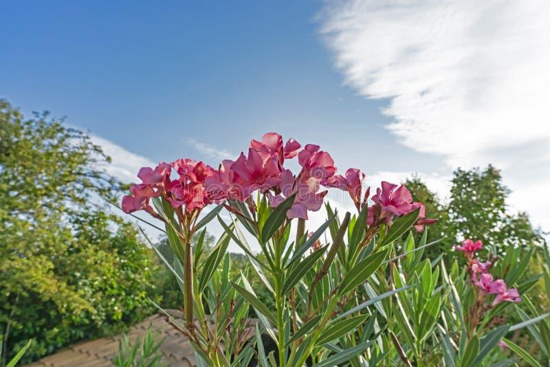 Grupos das pétalas cor-de-rosa do oleandro ou de Rose Bay doce perfumada, florescendo nas folhas verdes e no fundo vívido do céu  foto de stock royalty free
