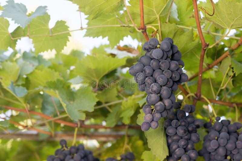 Grupos das uvas do vinho tinto que crescem em campos italianos Feche acima da vista da uva fresca do vinho tinto Uvas para vinho  fotografia de stock royalty free