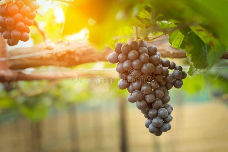 Grupos das uvas do vinho tinto que crescem em campos italianos Fim acima imagem de stock royalty free