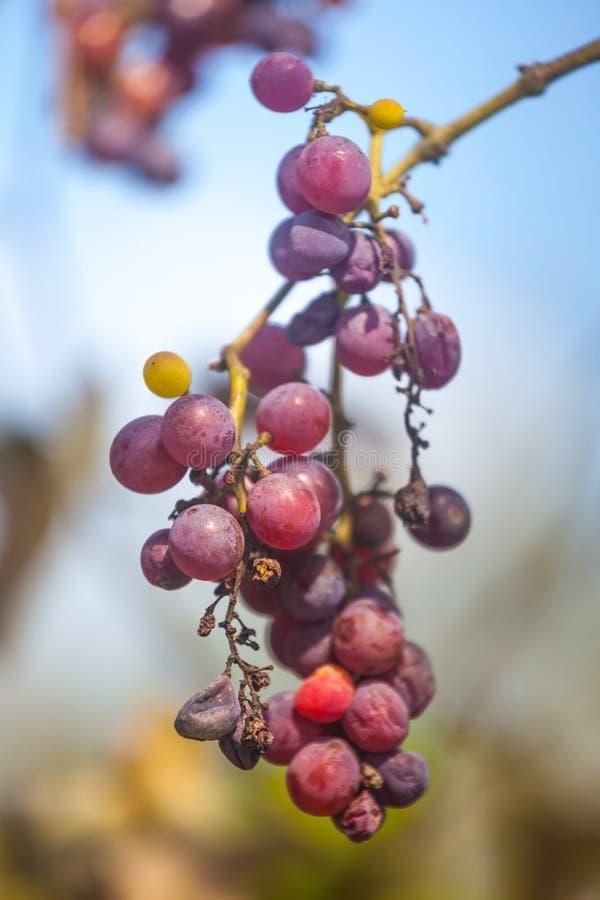 Grupos das uvas vermelhas maduras e estragadas que crescem no bef das videiras apenas imagem de stock