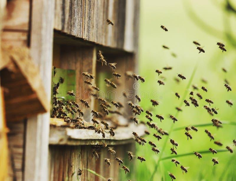 Grupos de abelhas do voo foto de stock royalty free
