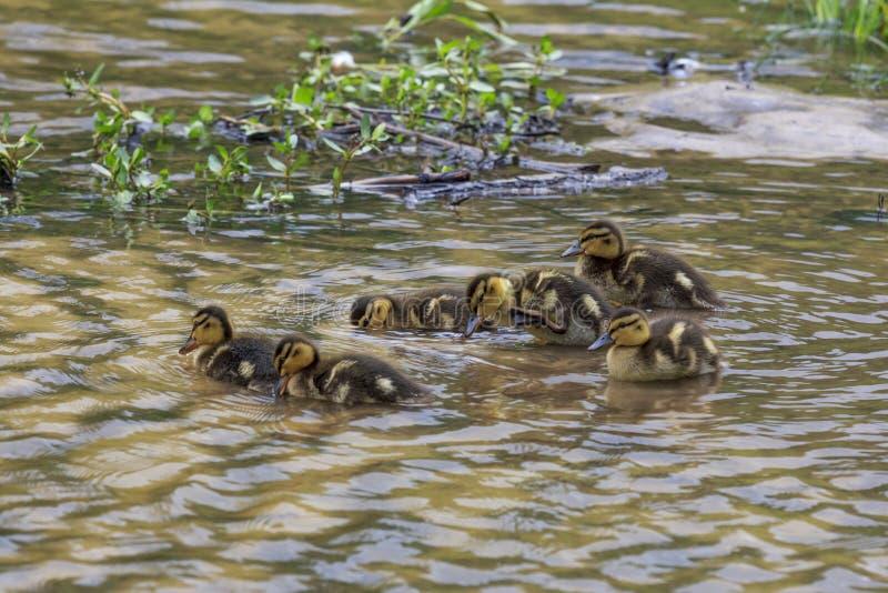 Grupos de anadones de los anadones que nadan junto imagen de archivo
