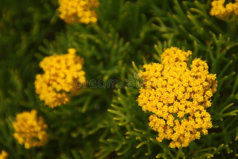 Grupos de flores amarelas em um arbusto fotografia de stock royalty free