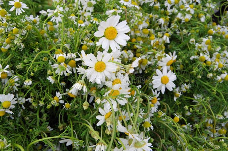 Grupos de flores frescas da camomila imagens de stock royalty free
