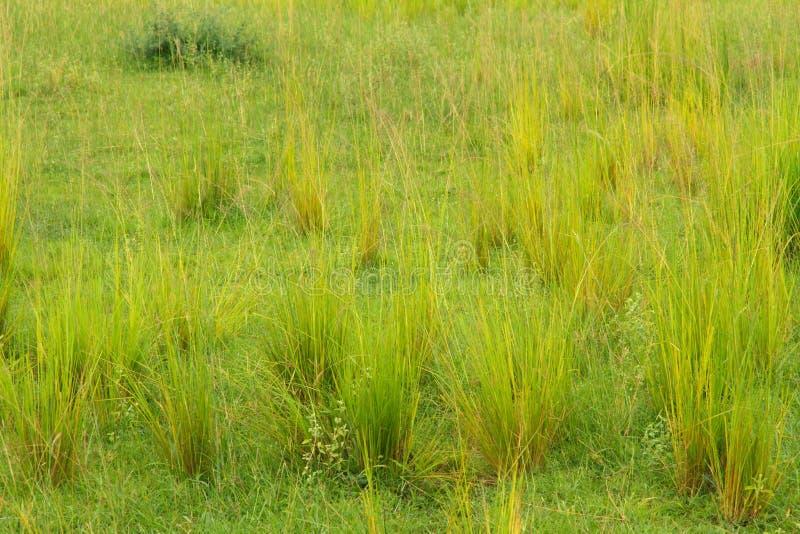 Grupos de Savannah Grasses imagem de stock