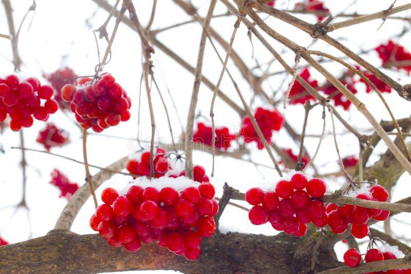 Grupos de suspensão do viburnum do inverno fotografia de stock royalty free