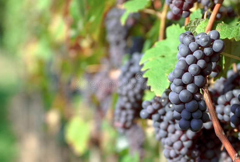 Grupos de uva vermelhos no vinhedo foto de stock