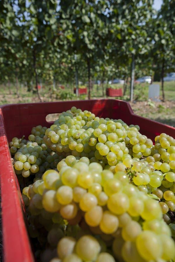 Grupos de uvas da colheita imagens de stock