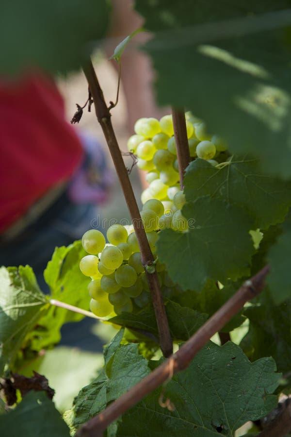 Grupos de uvas da colheita foto de stock royalty free