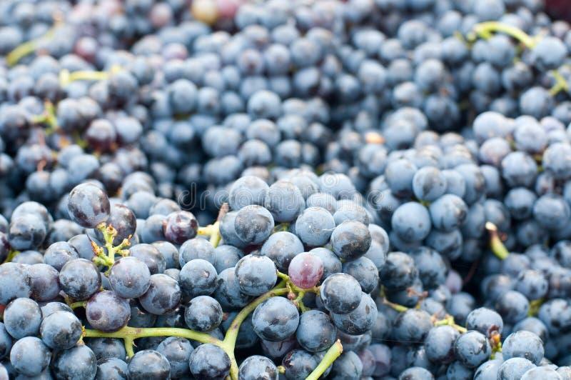 Grupos de uvas Lambrusco, uma uva italiana típica imagens de stock