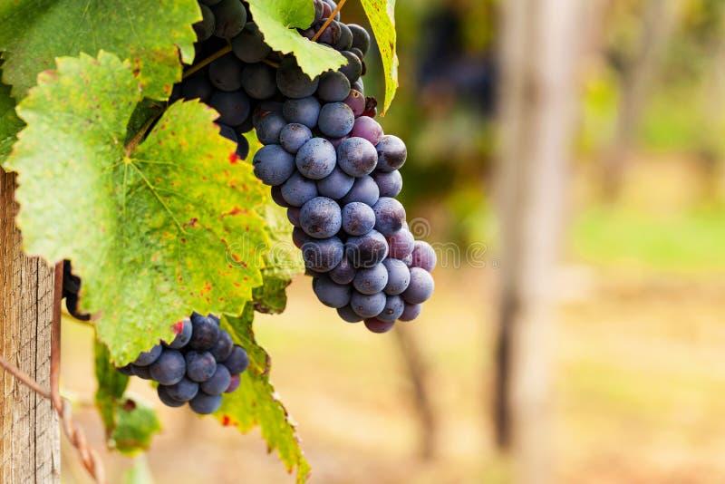 Grupos de uvas maduras antes da colheita imagem de stock royalty free