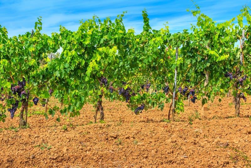 Grupos de uvas vermelhas na videira com folhas verdes fotos de stock royalty free