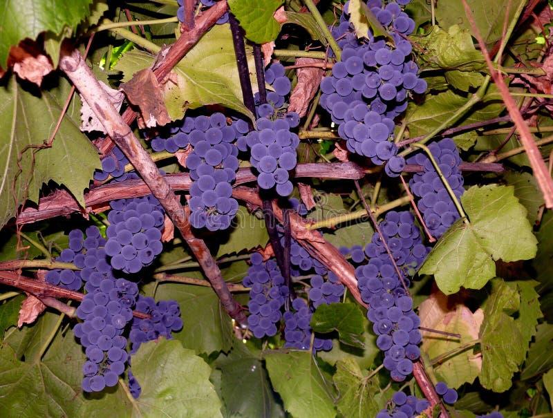 Grupos de veludo de uvas foto de stock
