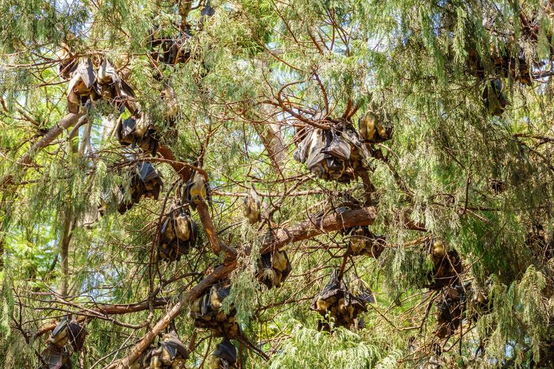 Grupos do bastão que penduram no ramo de árvore imagens de stock royalty free
