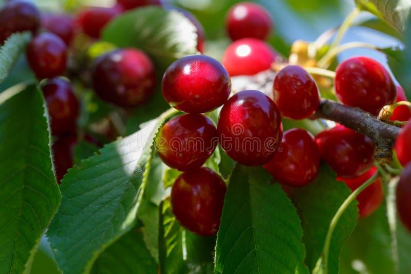Grupos do close-up vermelho maduro da cereja em um dia ensolarado foto de stock
